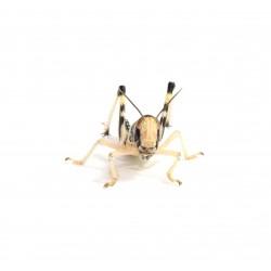 Locuste - Schistocerca gregaria medium - dose 50