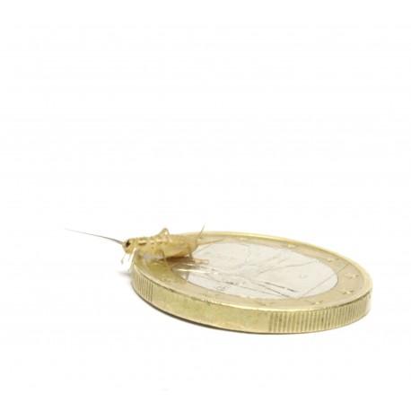 Acheta domesticus small(500 pezzi)