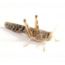 Locuste - Schistocerca gregaria adult - dose 100