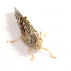 Locuste - Schistocerca gregaria adult - dose 50