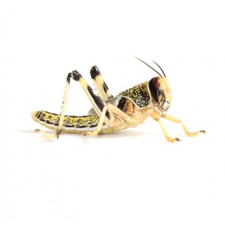 Locuste - Schistocerca gregaria subadult - dose 100